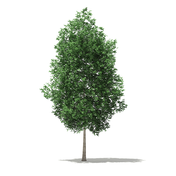 Tulip Tree (Liriodendron) 7.4m - 3DOcean Item for Sale