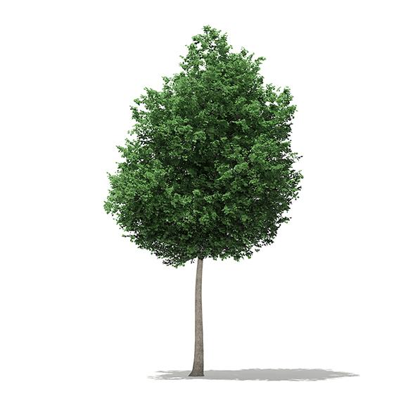3DOcean Tulip Tree Liriodendron 8.1m 20330998
