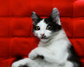 Kitten on a red background - PhotoDune Item for Sale