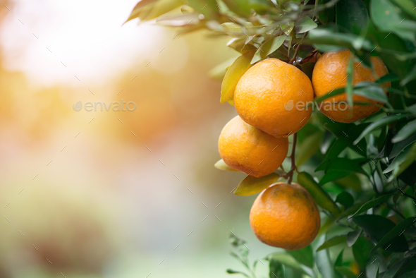 fresh orange with flare light - Stock Photo - Images