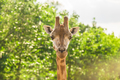 Close-up of a giraffe in front of some green trees. With space for text.