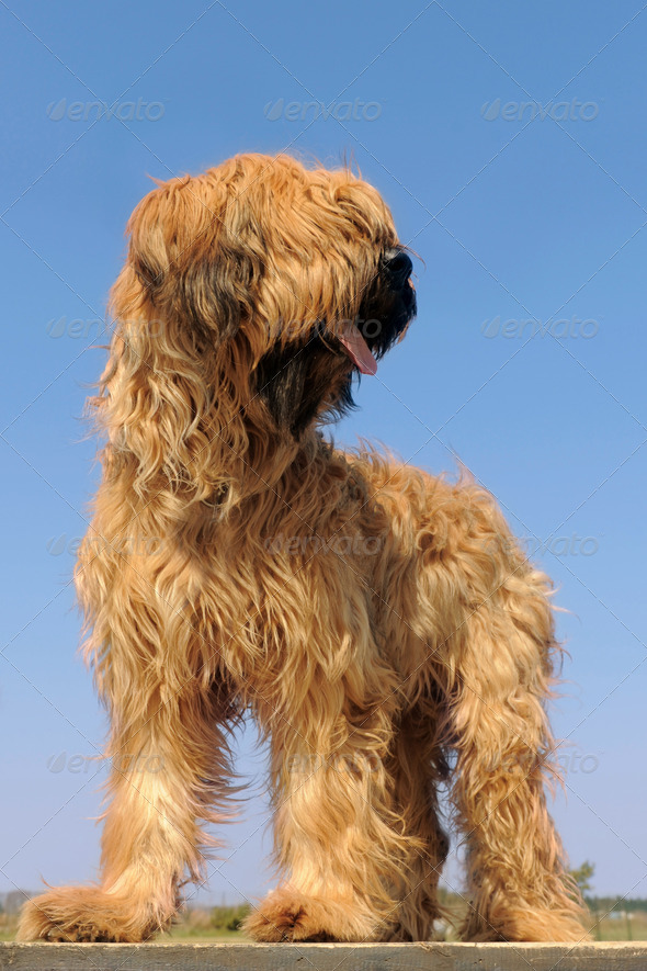 briard, french shepherd - Stock Photo - Images