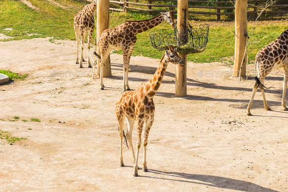 Group of giraffes walks in nature - Stock Photo - Images