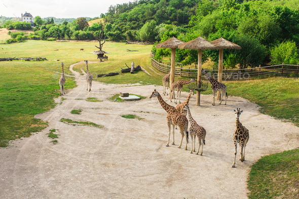 Group of giraffes walks in the park - Stock Photo - Images