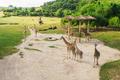 Group of giraffes walks in the park