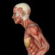 Female Muscular System - Run Animation - VideoHive Item for Sale