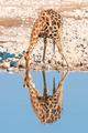 Namibian giraffe drinking water