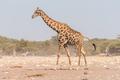 Namibian giraffe walking and pooing