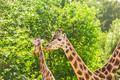 Pair of giraffe portrait seeing necks and heads on green leaves background