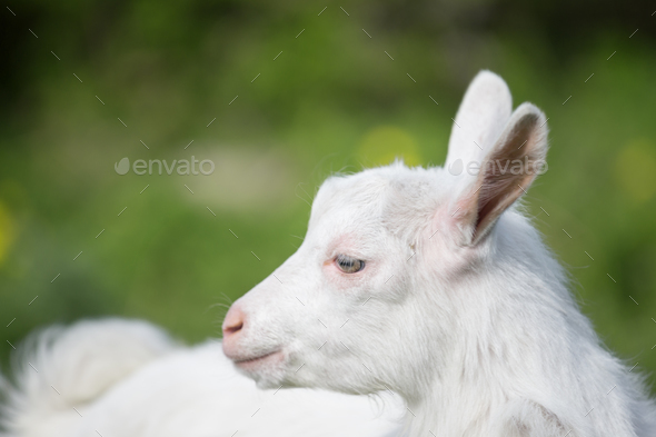 Standing sideways white goat - Stock Photo - Images