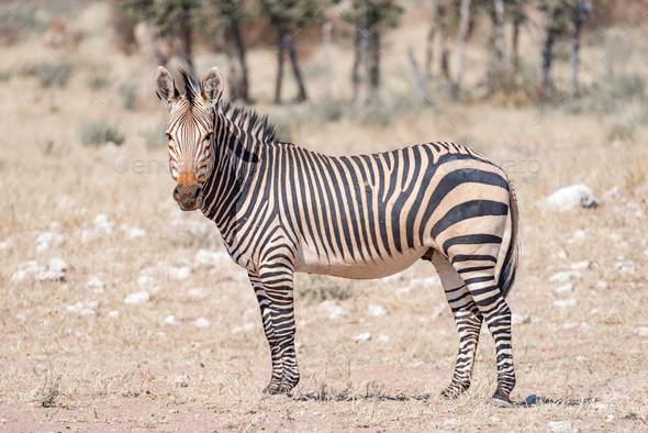 Hartmann Mountain Zebra looking towards the camera - Stock Photo - Images