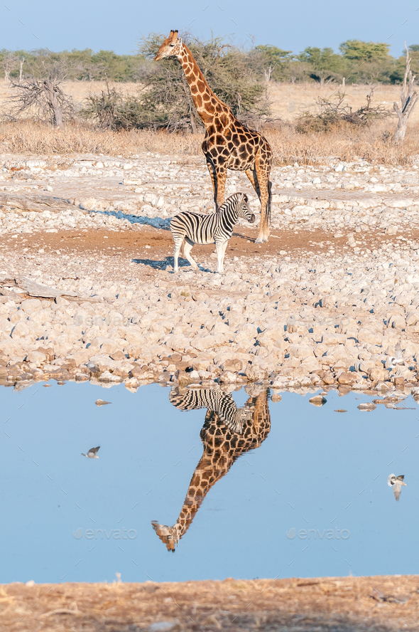 Namibian giraffe and  Burchells zebra with reflections in water - Stock Photo - Images