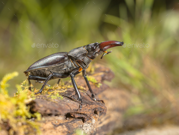 Wild Stag Beetle (Lucanus cervus) Viewing from a Log on the Fore
