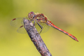 Common darter dragonfly perched on stick