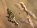 Swallowtail (Papilio machaon) resting on Grass Ear in the Mornin