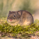 Bank vole looking in natural environment - PhotoDune Item for Sale