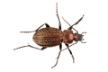 Ground beetle (Detail of head of ground beetle) on a white background