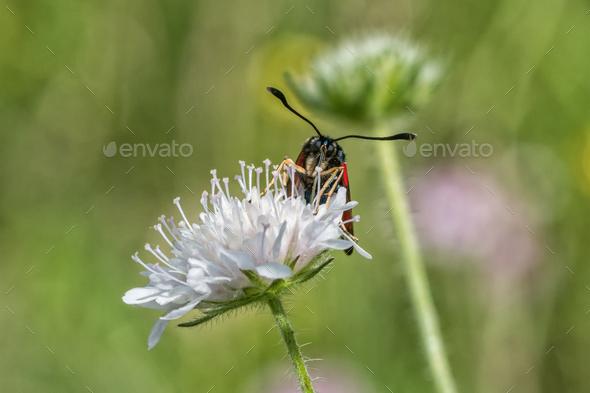 Burnet moth (Zygaena) sitting on a flower