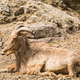 Wild goat in nature - PhotoDune Item for Sale