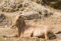 Wild goat in nature