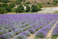 Beautiful lavender purple field in a sunny day - PhotoDune Item for Sale