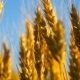 Yellow Wheat Spike  in Sunlight Glint at Sunset - VideoHive Item for Sale