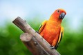Macaw Parrot on green background