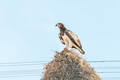 Martial eagle with prey on communal bird nest