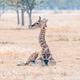 Namibian giraffe calf lying on the grass - PhotoDune Item for Sale
