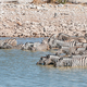 Burchells zebras standing in a waterhole to drink - PhotoDune Item for Sale