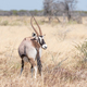 Oryx, also called gemsbok, with a deformed horn - PhotoDune Item for Sale