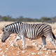Pregnant Burchells zebra mare walking in red sand - PhotoDune Item for Sale