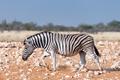 Pregnant Burchells zebra mare walking in red sand