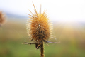 closeup photography of a dried thistle plant