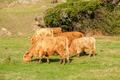 Highland cows on a field, California