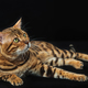 The gold Bengal Cat on black background - PhotoDune Item for Sale