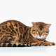 The gold Bengal Cat on white background - PhotoDune Item for Sale