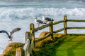 Seagull at USA Pacific coast - PhotoDune Item for Sale