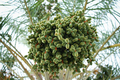 Green dates on a palm tree - PhotoDune Item for Sale
