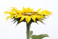 Yellow sunflower - PhotoDune Item for Sale
