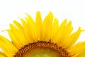 Yellow sunflower on white - PhotoDune Item for Sale