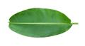 Fresh whole banana leaf - PhotoDune Item for Sale
