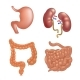 Realistic Human Organs Set Anatomy - GraphicRiver Item for Sale