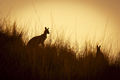 Kangaroo Silhouettes - PhotoDune Item for Sale