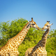 Giraffe in Africa - PhotoDune Item for Sale