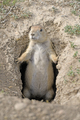 Prairie Dog Guarding its Burrow - PhotoDune Item for Sale