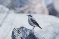 Northern wheatear (Oenanthe oenanthe) - PhotoDune Item for Sale