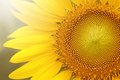 Close up of sunflower on plant - PhotoDune Item for Sale