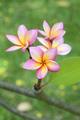 Frangipani Flowers - PhotoDune Item for Sale