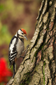 Young Greater Spotted Woodpecker looking for insects on a tree trunk - PhotoDune Item for Sale
